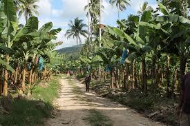 Showing typical banana plantation